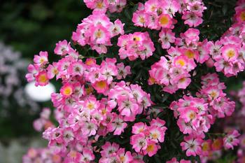 rose_002.jpg